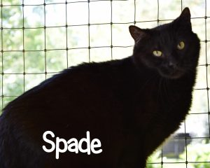 Spade cat ready for adoption